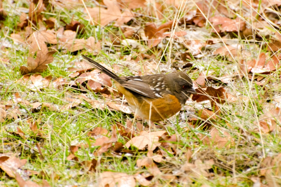 Spotted Towhee looking for bugs under the leaves