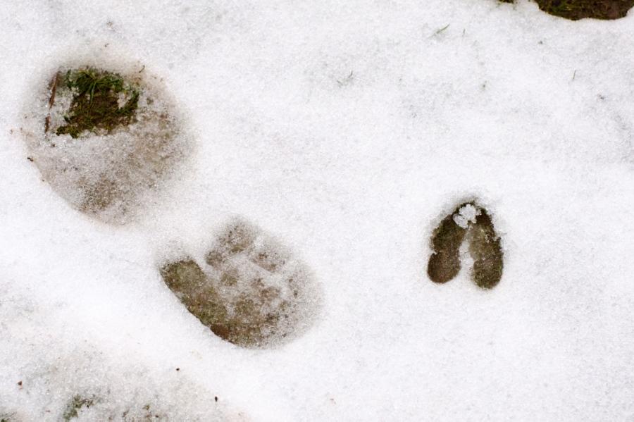 Tracks: a Blacktail Deer and a bi-pedal predator