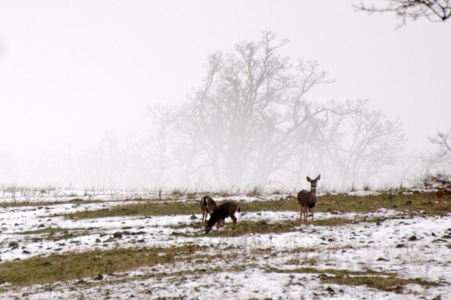 Blacktail Deer feeding