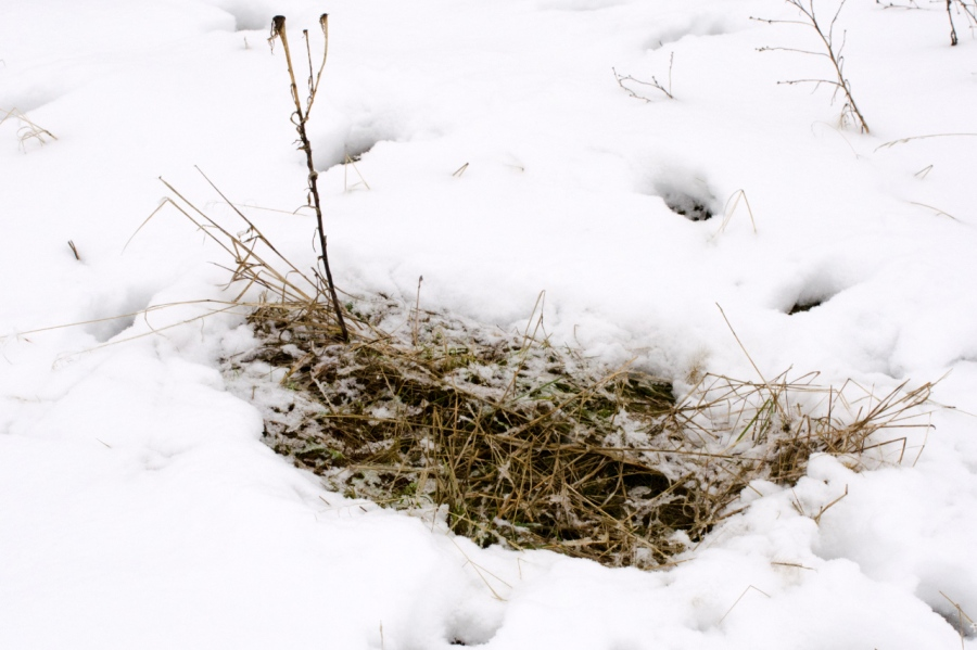 Blacktail Deer bed (their body heat melts the snow)
