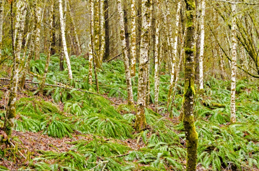 Alders and Sword Ferns