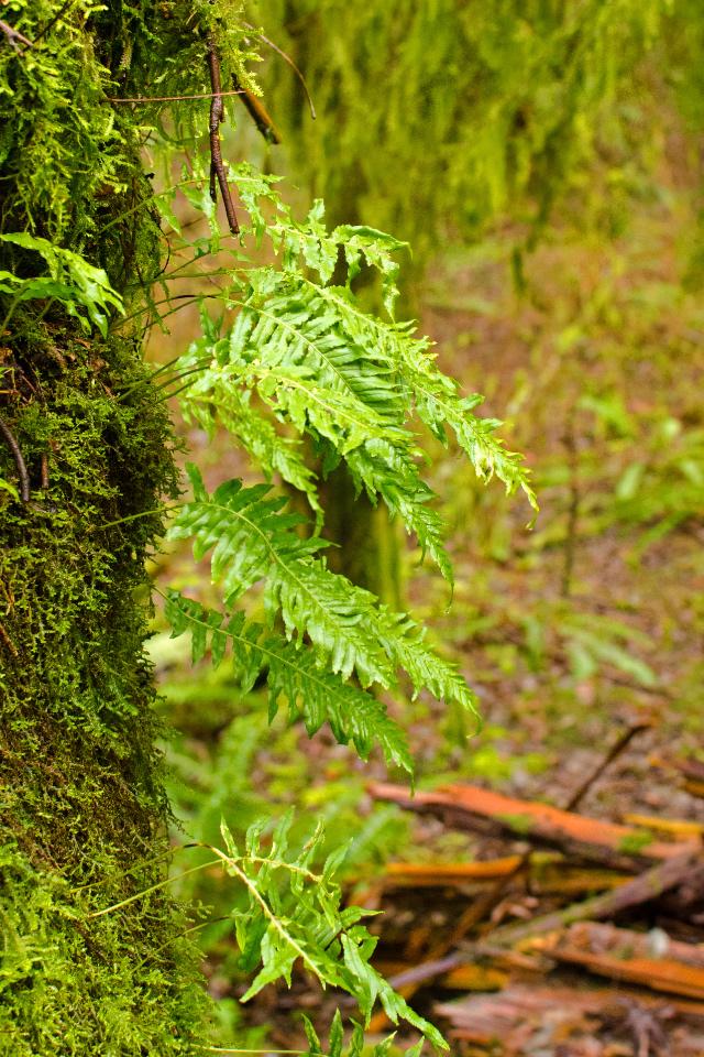 Licorice Ferns