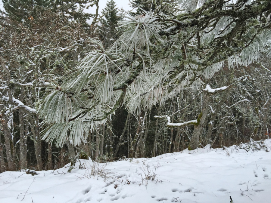 Frosty Ponderosa Pine needles