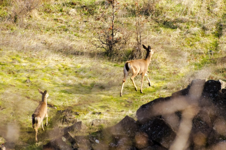 Several Blacktail Deer that I spooked from their beds