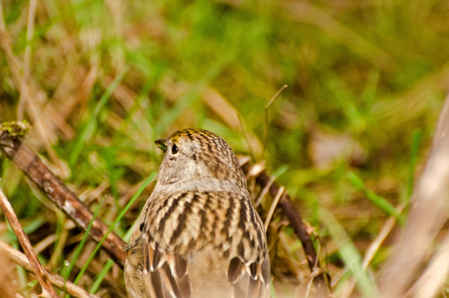 Savannah Sparrow (?)