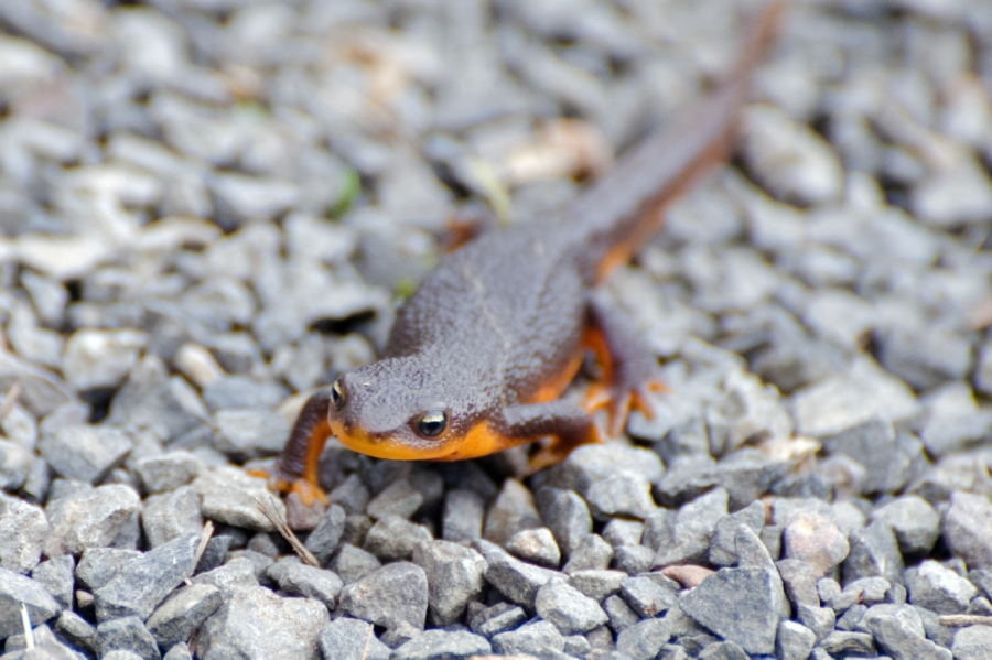 Newts at the Tualatin River NWR