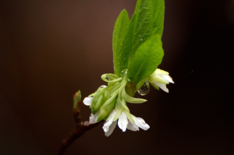 Indian Plum blossom