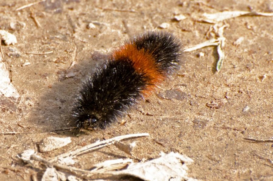 Woolly Bear (odd time of the year to see one)