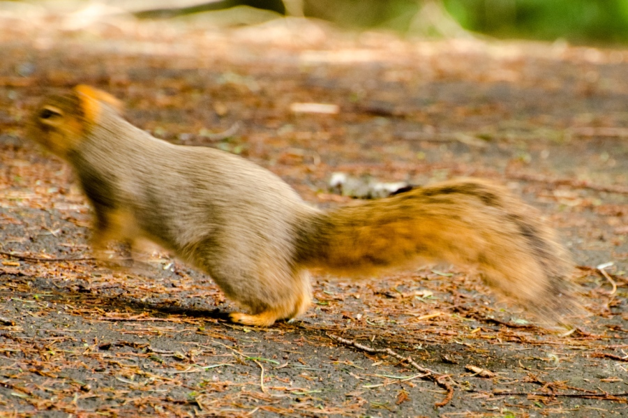 Fox Squirrel on the run