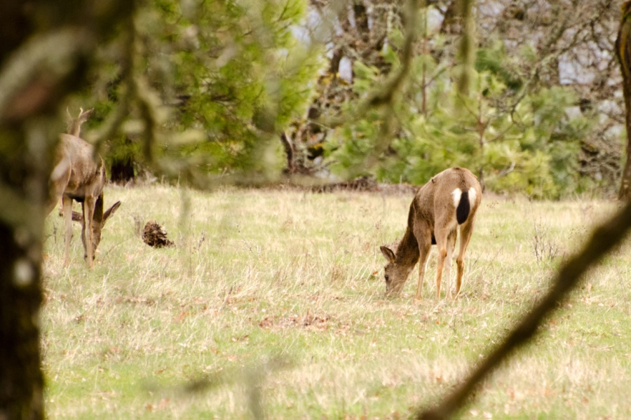 Blacktail Deer feeding
