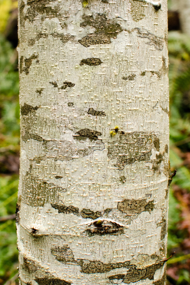 Red Alder bark