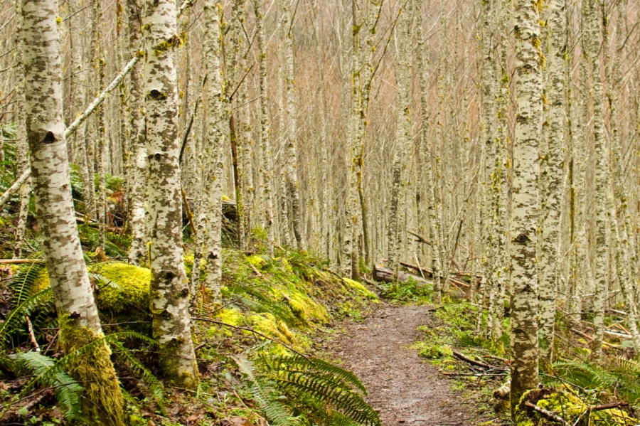 A copse of Red Alder surrounding the trail