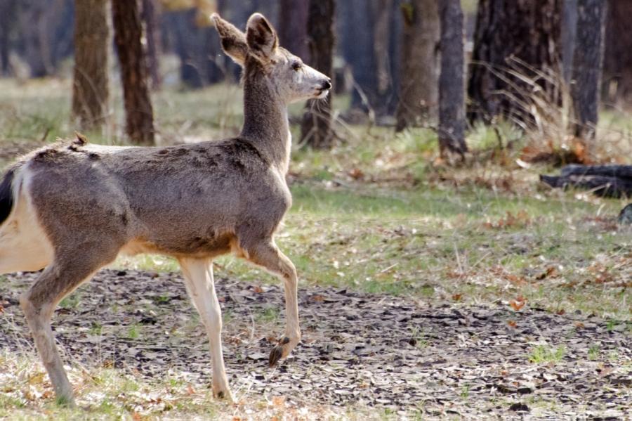 Blacktail Deer sneaking away from me