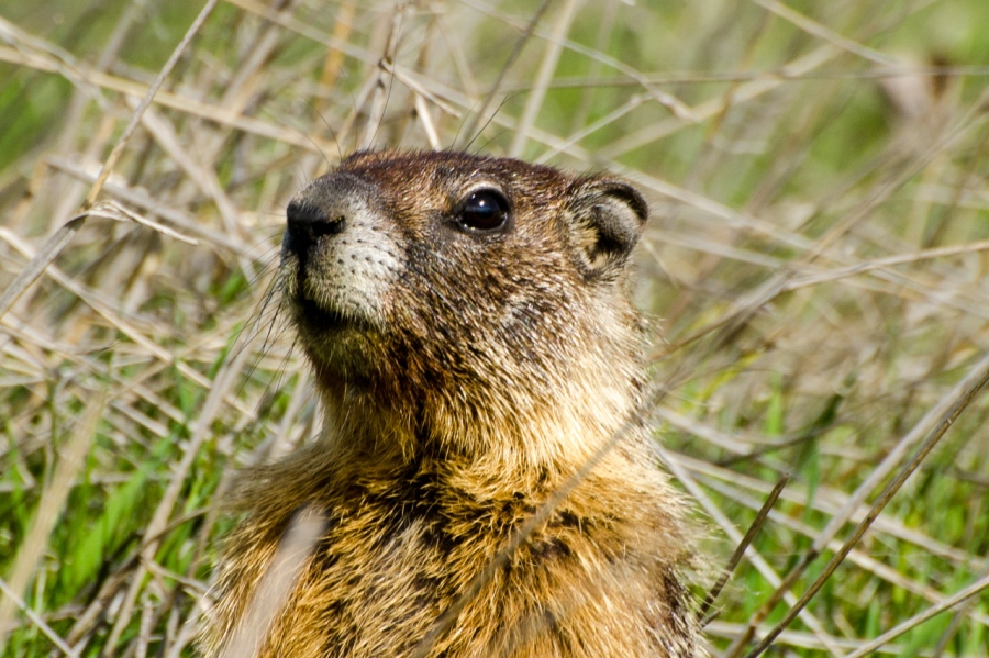 A Groundhog on the alert