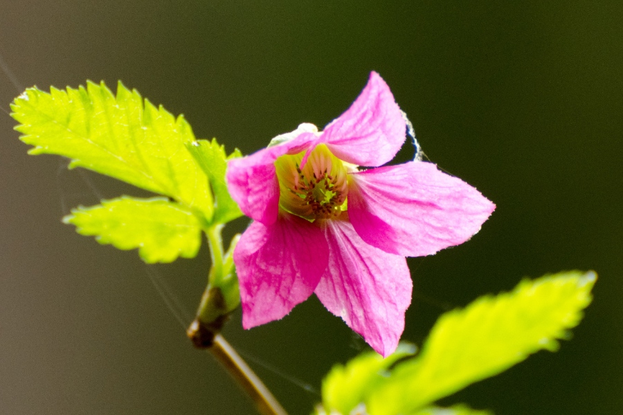Salmonberry along the Marquam Trail