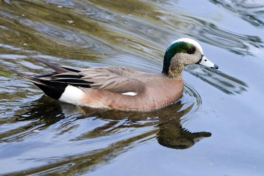 Wigeon Duck