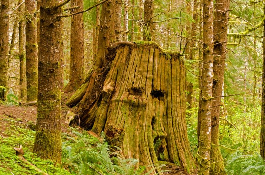 Double springboard slots in giant Cedar stump