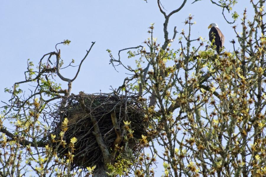 Bald Eagle guarding its nest