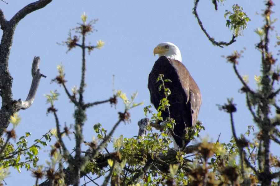 Bald Eagle keeping an eye on us