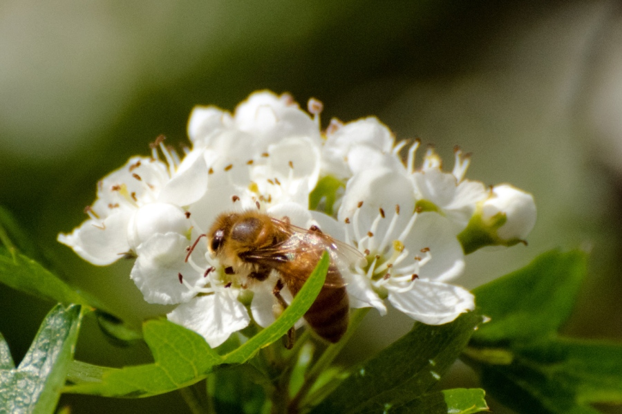 Honey Bee on some Sour Cherry blossoms