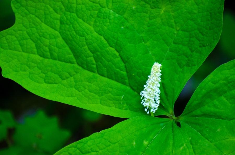 Vanilla Leaf