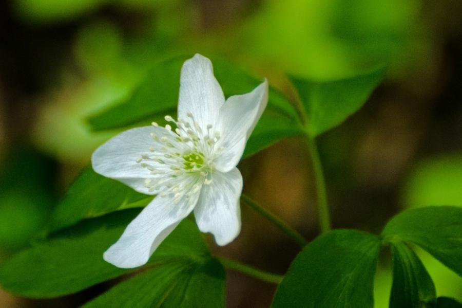 Columbia Wind Flower