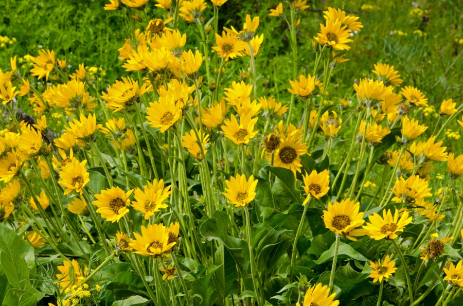 Balsamroot blowing in the wind