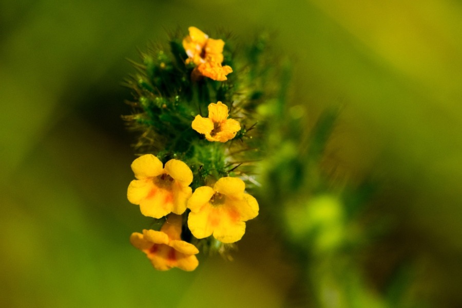 Rigid Fiddleneck