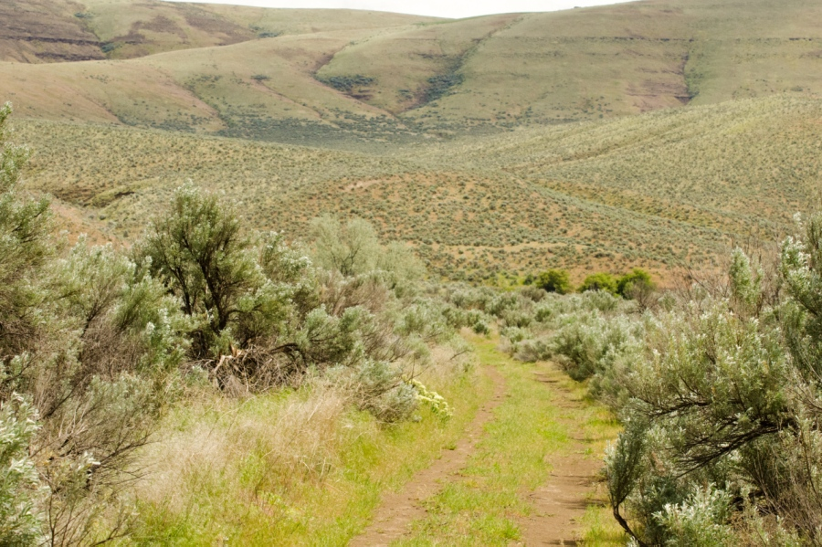 Lots of Sagebrush along the trail