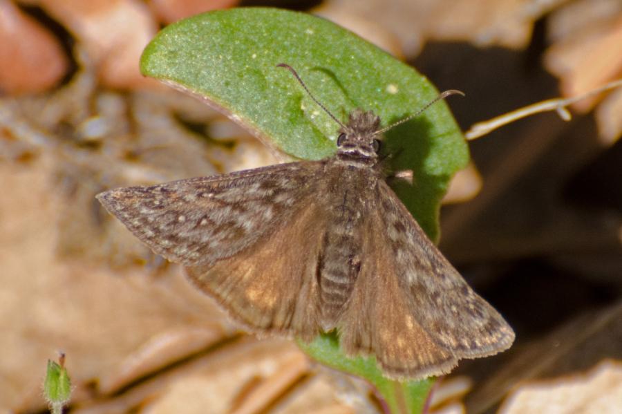 Western Oak Duskywing Butterfly