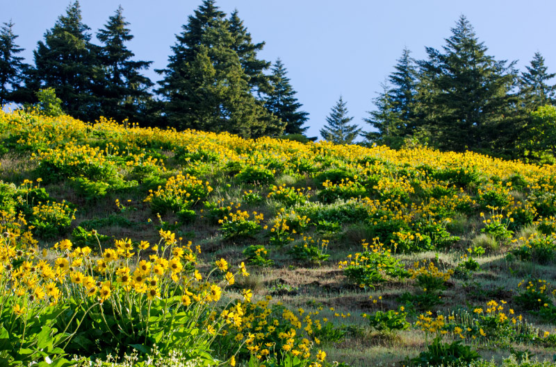 Hillside covered with balsamroot