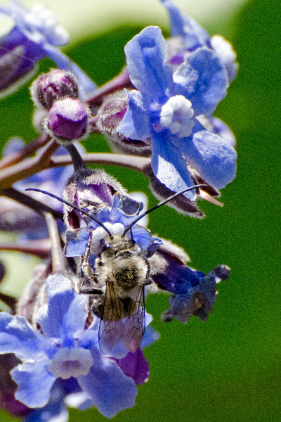 Sweat Bee enjoying a Great Hound's Tongue