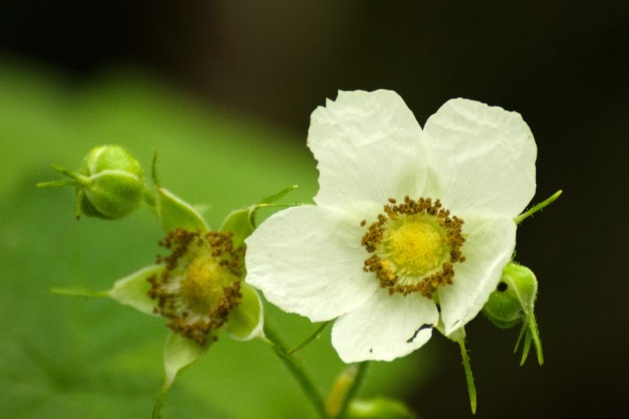 Wild Rose family