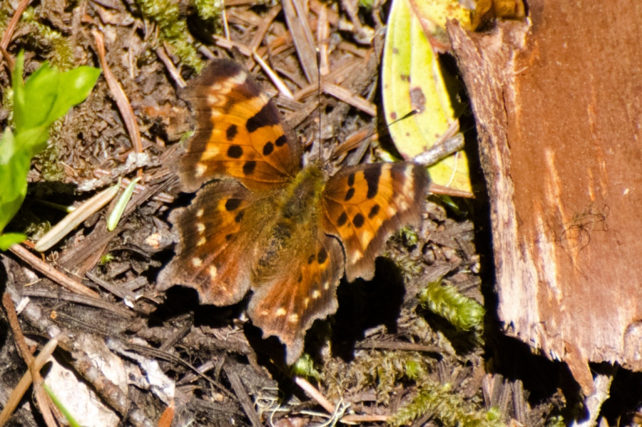 Green Comma Butterfly