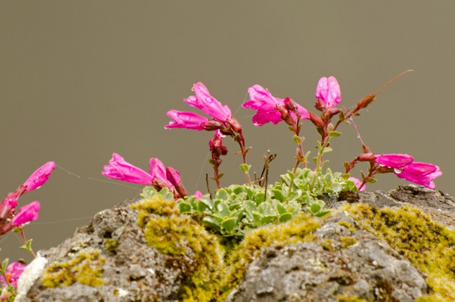 Rock Penstemon