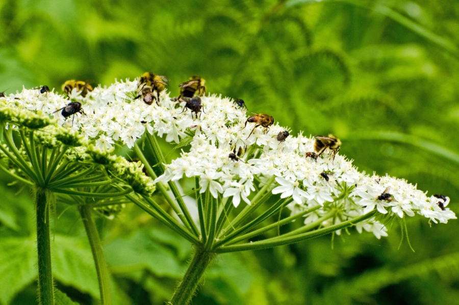 Cow-parsnip flowers must be a real treat