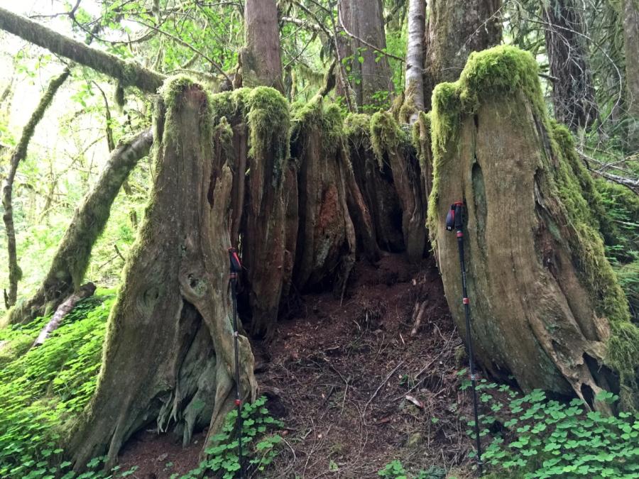 Huge old Cedar Stump