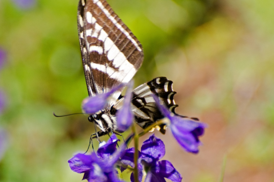 Swallowtail Butterfly on a Larkspur