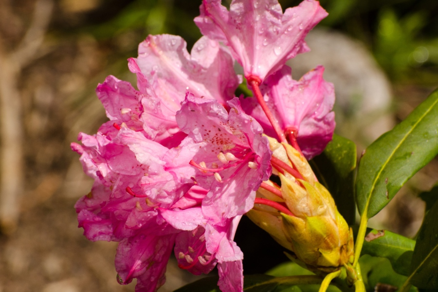 Western Rhododendron