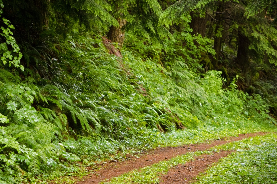 Sword Ferns lining the trail (an old logging road)