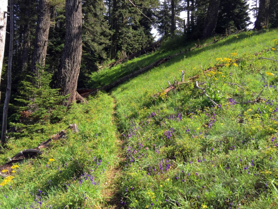 Trail leading through a wildflower meadow