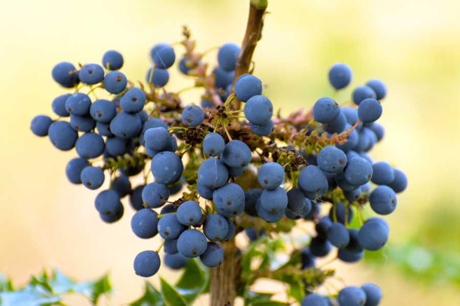 Tall Oregon Grape