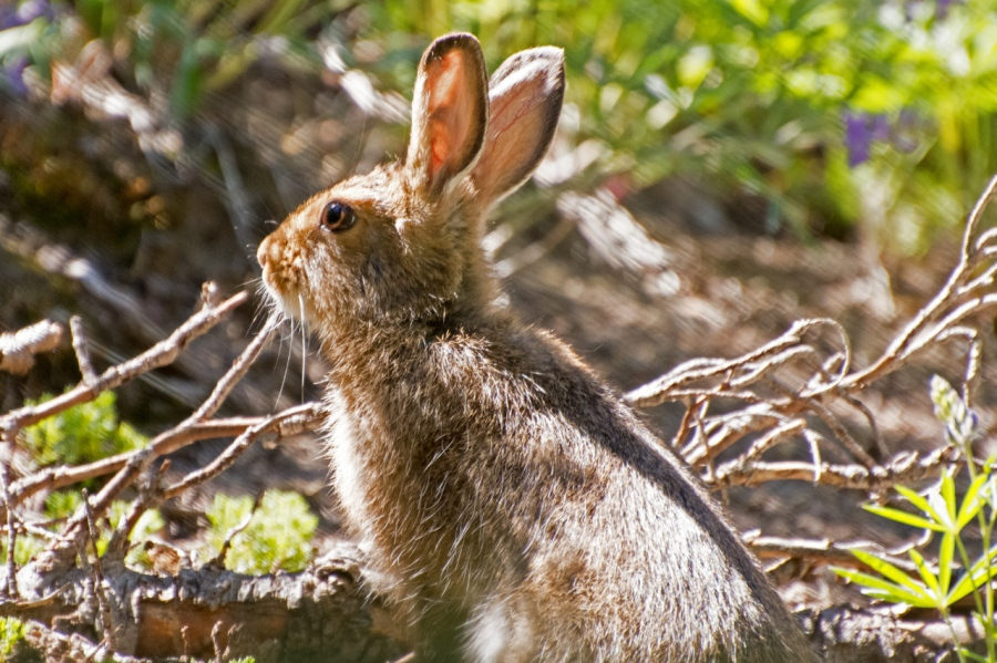 Varying Hare (Snowshoe Rabbit)