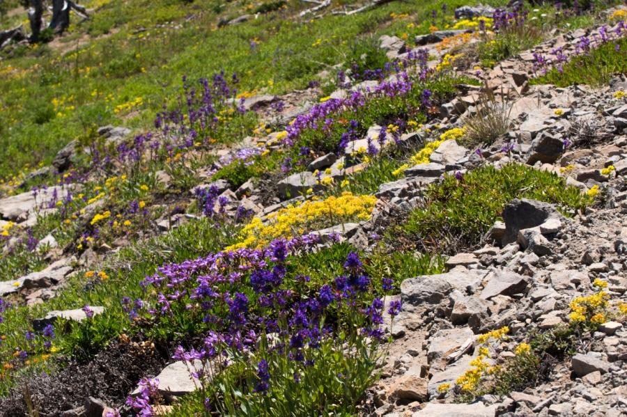 Alpine wildflower garden