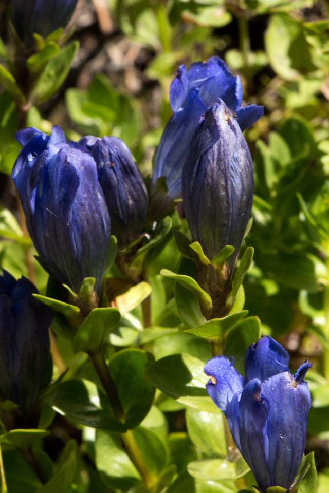 Gentian (one of a few truly blue flowers)
