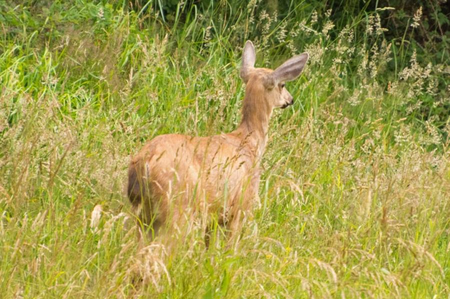Blacktail Deer sneaking away