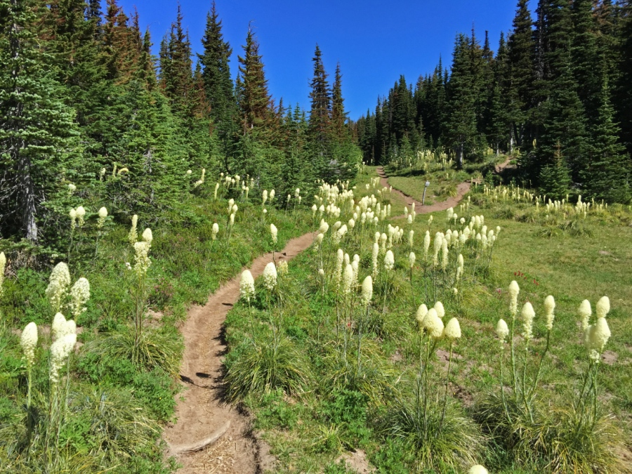 Plumes of Beargrass lining the trail