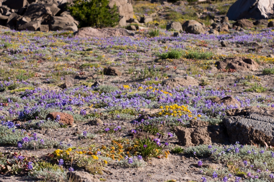 Tundra-like environment above 7,000 feet (purple Lupine and orangish Buckwheat