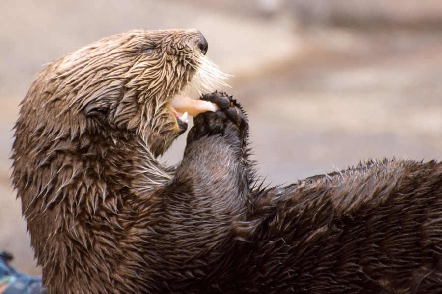 Sea Otter enjoying a snack