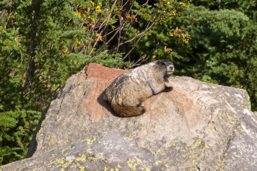 Hoary Marmot catching some rays